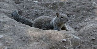 Squirrel Royalty Free Stock Image