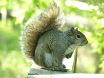 Squirrel. Gray Squirrel sitting on a wooden railing Royalty Free Stock Image
