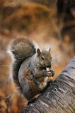 Squirrel. A squirrel chomping on peanuts Stock Images