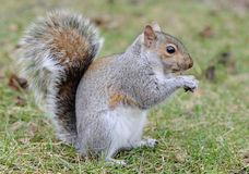 Squirrel Stock Photo