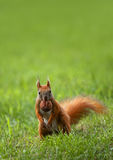 Squirrel. Close up with a red squirrel Stock Photo