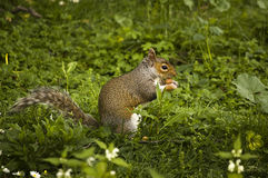 Squirrel Royalty Free Stock Photos