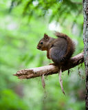 Squirrel. On a branch in the rainforest Stock Photos