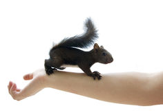 Squirrel. Baby squirrel on an arm Royalty Free Stock Image