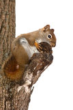 Squirrel. A Squirrel and tree isolated over a white background Royalty Free Stock Image