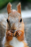 Squirrel. That nibble nuts, nutcracker Royalty Free Stock Image