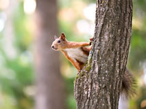 Free Squirrel Royalty Free Stock Photo - 16093755