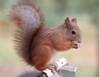 Squirrel. Eating nuts in park Royalty Free Stock Photos