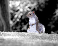 Squirrel. Grey squirrel with monochrome background Royalty Free Stock Photography