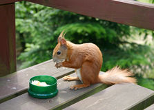 Squirrel. Close up at eating fodder squirrel Royalty Free Stock Images