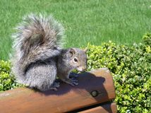Squirrel. Park, bench, sit, Chicago, grass, outdoor Stock Images