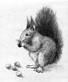 Squirrel. Eating hazel nuts. Pencil drawing, sketch Stock Images
