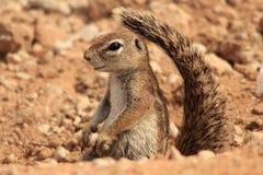 Free Squirrel Royalty Free Stock Photos - 18236918