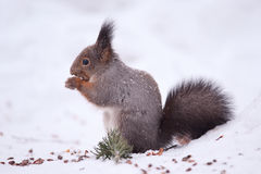 Free Squirrel Royalty Free Stock Photo - 18379195