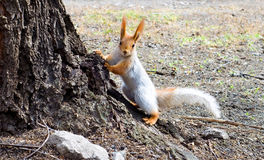 The squirrel Royalty Free Stock Image