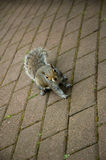Squirrel. Cute squirrel on the footpath stock photos