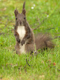 Squirrel. Funny Squirrel with messy hair in the green grass, tense pose Royalty Free Stock Photo