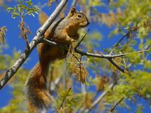 Squirrel 2 Royalty Free Stock Photo