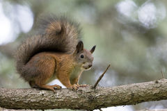 Squirrel. On branch looking ahead Royalty Free Stock Image