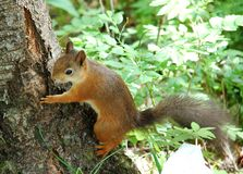 Free Squirrel Royalty Free Stock Photos - 20039528