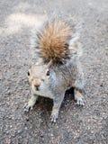 Squirrel. Scientific name Animalia Chordata Mammalia Rodentia Sciuromorpha Sciuridae royalty free stock photography