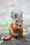 Squirrel. The squirrel - a nice rodent who becomes tame in city park Stock Photography