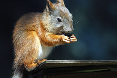 Squirrel. Sitting on birdhouse and eating nut Stock Photos
