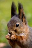Squirrel. Close up of squirrels head Royalty Free Stock Image