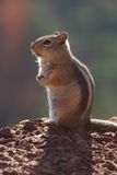 A squirrel Royalty Free Stock Photography