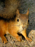 Squirrel. A closeup of a red squirrel Royalty Free Stock Photos