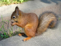 Squirrel. Eating red squirrel Stock Image