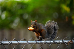 Squirrel. Eating the toasted bun on the fence, shallow focus Stock Photography