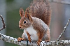 Squirrel. Red squirrel on tree branch Stock Photos