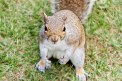 Squirrel. Asking for some nuts Royalty Free Stock Photography