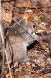 Squirrel. In nature during fall Stock Photo