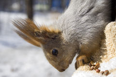 Squirrel. And nuts on palm Stock Photos