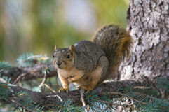 Squirrel. A single Squirrel by a tree in the fall in Colorado Royalty Free Stock Photo