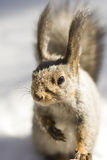 Squirrel. On the blurred snow Royalty Free Stock Image