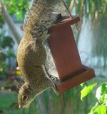 Squirrel. An alert squirrel hangs from a bird feeder filled with seeds royalty free stock photos