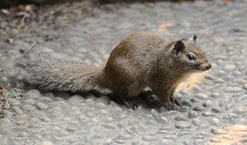 A Squirrel Royalty Free Stock Photo