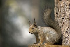 Squirrel. Watchful squirrel wearing the winter fur Stock Images