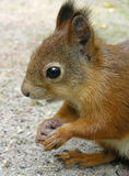 Squirrel. Feeding red squirrel. A closeup Royalty Free Stock Photography