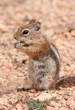 Squirrel. Ground squirrel in Bryce Canyon National Park, Utah Stock Images