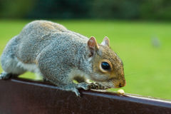 Squirrel. Close-up of a squirrel on a bench sniffing at a pine nut Stock Photos