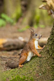 Squirrel. Eurasian red squirrel in alert Stock Image
