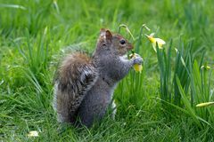 Squirrel. A squirrel eating a flower Royalty Free Stock Photo