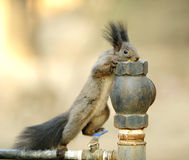 The squirrel Royalty Free Stock Photo