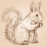 Squirrel. Cute fluffy squirrel with a nut Stock Images