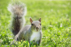 Free Squirrel Royalty Free Stock Images - 23300629