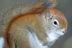 Squirrel. Little squirrel in nature during winter Royalty Free Stock Images